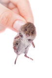 Common Vole, 3 weeks old, on white Stock Image