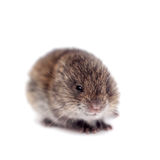 Common Vole, 3 weeks old, on white Stock Photography
