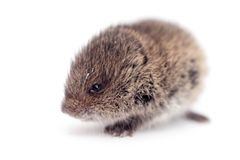 Common Vole, 3 weeks old, on white Royalty Free Stock Photography