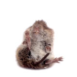 Common Vole, 3 weeks old, on white Royalty Free Stock Photo
