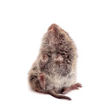 Common Vole, 3 weeks old, on white Royalty Free Stock Images