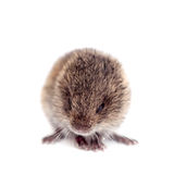 Common Vole, 3 weeks old, on white Stock Images