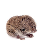 Common Vole, 3 weeks old, on white Royalty Free Stock Photos