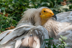 Common vulture Neophron percnopterus Stock Photography