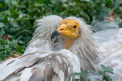 Common vulture Neophron percnopterus Royalty Free Stock Image