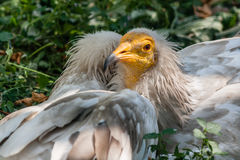 Common vulture Neophron percnopterus Royalty Free Stock Photography