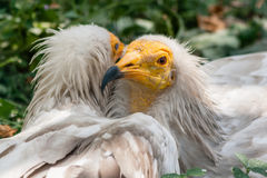 Common vulture Neophron percnopterus Royalty Free Stock Images