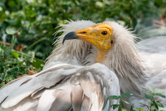Common vulture Neophron percnopterus Stock Images