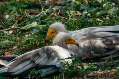 Common vulture Neophron percnopterus Stock Image