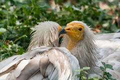 Common vulture Neophron percnopterus Royalty Free Stock Photos