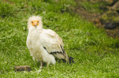 Common vulture, neophron percnopterus Royalty Free Stock Images