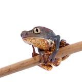 Common walking leaf frog isolated on white background Stock Photos