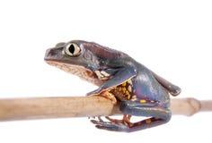 Common walking leaf frog isolated on white background Stock Photo