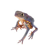 Common walking leaf frog isolated on white background Royalty Free Stock Images