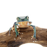 Common walking leaf frog isolated on white background Stock Images