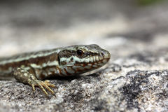 Common Wall lizard Stock Photo