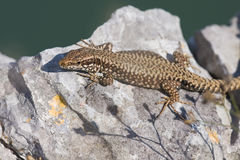 Common wall lizard Royalty Free Stock Images