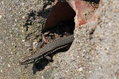 Common Wall Lizard Royalty Free Stock Photos
