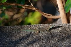 Common wall lizard basking on stone floor. Portuguese island of Madeira stock photo