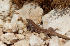 Common wall lizard basking on a stones. Photo is taken on Maltese island of Gozo stock images