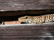 Common wall lizard Stock Images