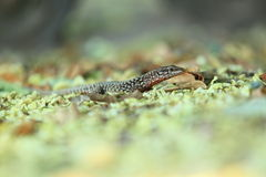 Common wall lizard Royalty Free Stock Photography