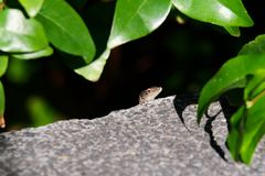 Common wall lizard looking out of its hiding place. Portuguese island of Madeira stock photo