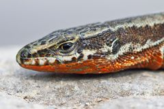 Common wall lizard, male in mating season. Podracis muralis stock images