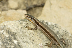 Common wall lizard / Podarcis muralis Stock Photography