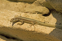 Common wall lizard / Podarcis muralis Royalty Free Stock Photos