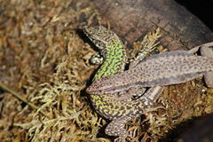 Common Wall Lizard - Podarcis muralis Royalty Free Stock Photos