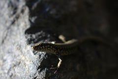 Common Wall Lizard - Podarcis muralis Stock Photography