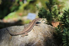Common Wall Lizard - Podarcis muralis Royalty Free Stock Image