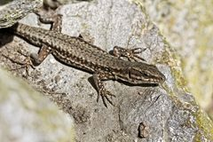 Common wall lizard, Podarcis muralis from Germany Stock Photos