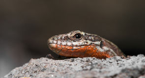 Common wall lizard (Podarcis muralis) Stock Photos