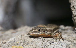 Common wall lizard (Podarcis muralis) Royalty Free Stock Photos
