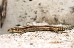 Common wall lizard (Podarcis muralis) Stock Images