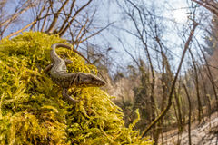 Common wall lizard (Podarcis muralis) in the woodland. The common wall lizard (Podarcis muralis) is a species of lizard with a large distribution in Europe royalty free stock photos