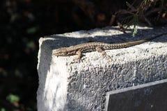 Common Wall Lizard (Podarcis Puralis) Stock Photography