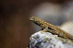 Common wall lizard posed on a rock. Seen on Mount Wilson, San Gabriel Mountains, California Stock Photo