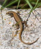 Common Wall Lizard on rock. A Common Wall Lizard - Podarcis muralis - shows it`s dorsal colours and pattern while basking on a rock near the Tigrad River in tne stock photo