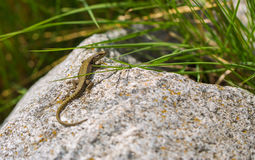 Common Wall Lizard on rock. A Common Wall Lizard - Podarcis muralis - shows it`s dorsal colours and pattern while basking on a rock near the Tigrad River in tne royalty free stock image
