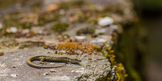 Common Wall Lizard on rock. A Common Wall Lizard - Podarcis muralis - shows it`s dorsal colours and pattern while basking on a rock near the Tigrad River in tne stock photos