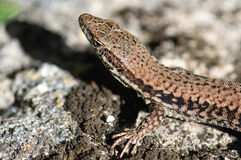 Common wall lizard on stonewall Royalty Free Stock Photography