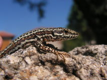 Common wall lizard Royalty Free Stock Photo