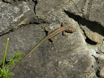 Common wall lizard Royalty Free Stock Image