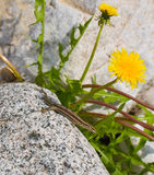 Common Wall Lizard and yellow flower Royalty Free Stock Images