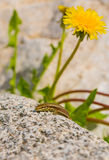 Common Wall Lizard and yellow flower Stock Images
