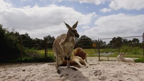 Common wallaroo australia kangaroo on a sunny day stock video footage
