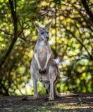 Common wallaroo. Kangaroo, Common wallaroo (Macropus robustus Stock Photo